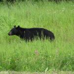 einer der vielen Bären